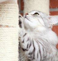 Voc� sabe por que arranhar � t�o importante para o seu gato? Descubra.