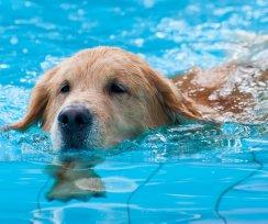 Tem piscina em casa? Voc� precisa ver essas dicas para dar mais seguran�a ao seu cachorro!