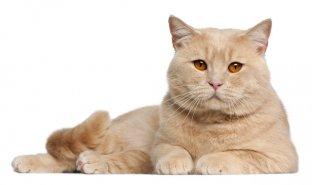 Entenda os benefícios das proteínas na ração para gatos