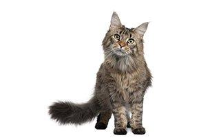 A import�ncia da ra��o especial para gatos castrados