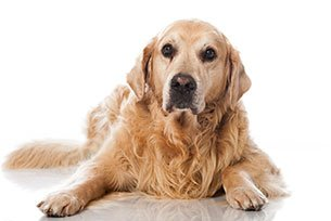 Saiba como as brincadeiras podem ajudar cães idosos