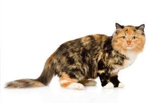 5 sintomas que indicam que seu gato pode estar com anemia