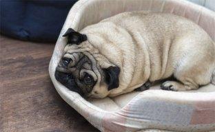 Doenças causadas pela obesidade canina