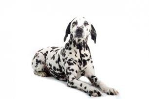 C�es da ra�a d�lmata possuem tend�ncia a ser um cachorro obeso