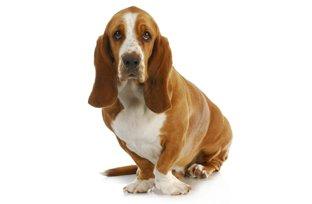 Cães da raça basset hound têm facilidade para ganhar peso