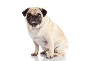 Cachorros da raça pug possuem tendência à obesidade