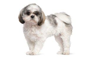 Cães da raça shih tzu têm predisposição à obesidade canina