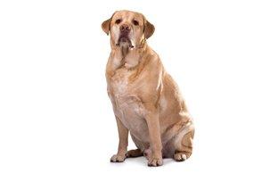 Cães da raça labrador possuem tendência à obesidade canina
