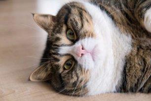 Doenças causadas pela obesidade em gatos