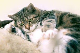 Obesidade em gatos castrados