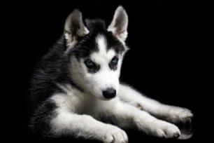 Melhor ra��o para cachorro Husky Siberiano