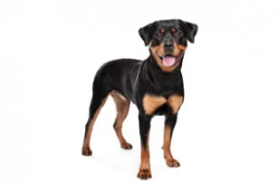 Melhor ra��o para cachorro Rottweiler