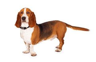 Melhor ra��o para cachorro Basset Hound