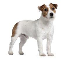Melhor ração para Jack Russel Terrier