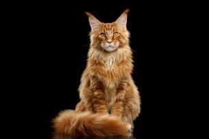 Melhor ra��o para gato Maine Coon