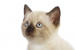 Melhor ração para gato Siamês filhote