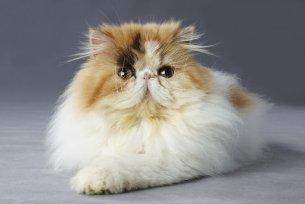 Melhor ração para gato Persa idoso