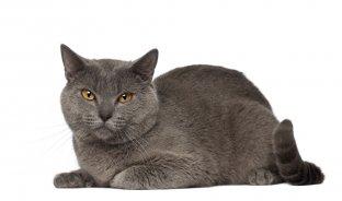 Melhor ra��o para gato Chartreux