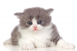 Melhor ra��o para gato Angor� filhote