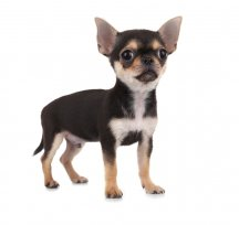 Melhor ra��o para Chihuahua filhote