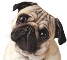 Melhor ração para Pug com alergia