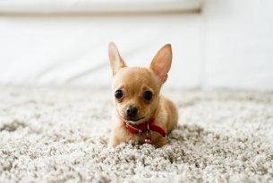 Melhor ração para cachorros de raças pequenas