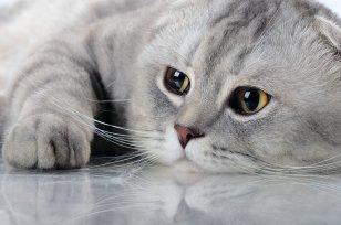 Melhor ra��o para diabetes em gatos