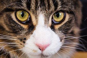 Melhor ra��o para gato Maine Coon filhote?