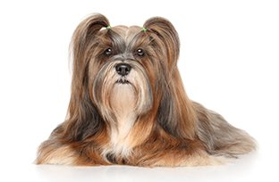 Aprenda a escolher a melhor ra��o para cachorro Lhasa Apso