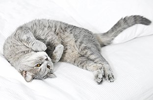 Cuidados pr�-operat�rios em cirurgia de castra��o de gato