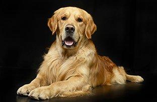 Gestação de cachorro: qual a alimentação indicada?