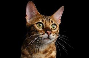 Melhores ra��es para gatos