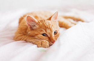 Gato com febre: como identificar e o que fazer