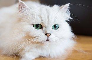 Micose em gatos: sintomas, diagn�stico e cuidados