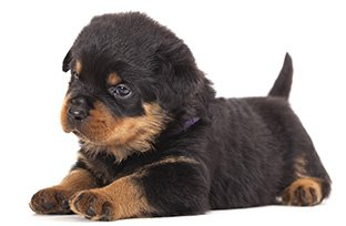 Ra��o para Rottweiler filhote