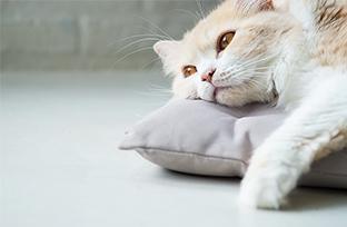 Sintomas de anemia em gatos