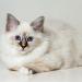 Acne felina: o que é e como identificar