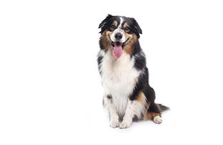 Sarna demodécica em cães: o que é, como tratar e evitar