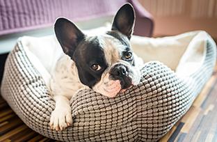 Catarata em cachorro: diagnóstico, sintomas e tratamento