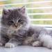 Gato recém-nascido com diarreia: como cuidar?
