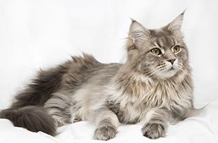 Dermatite em gato: quais as mais comuns?