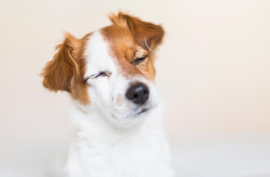Conjuntivite canina: causas, sintomas e tratamento