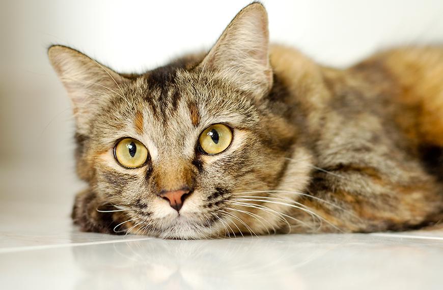 Como tratar a cistite em gatos?