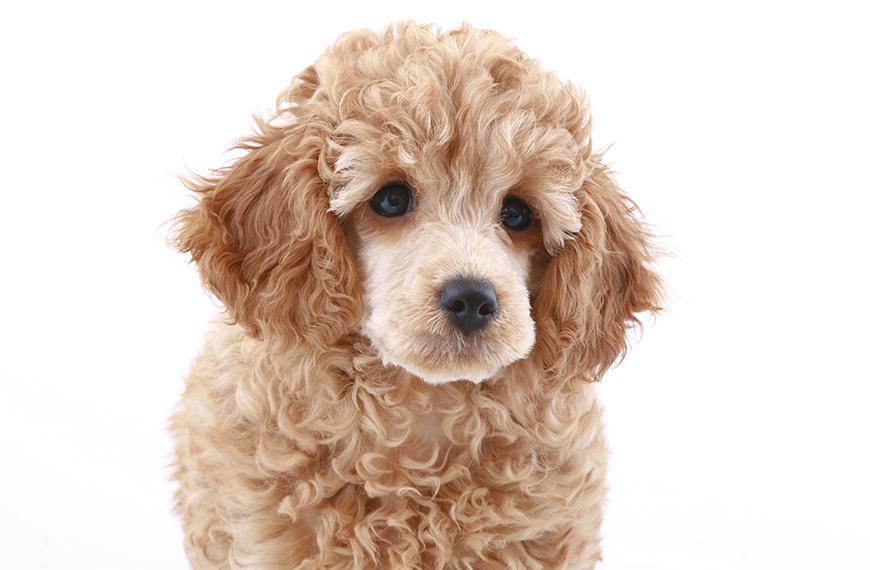 Doen�as comuns em filhote de poodle