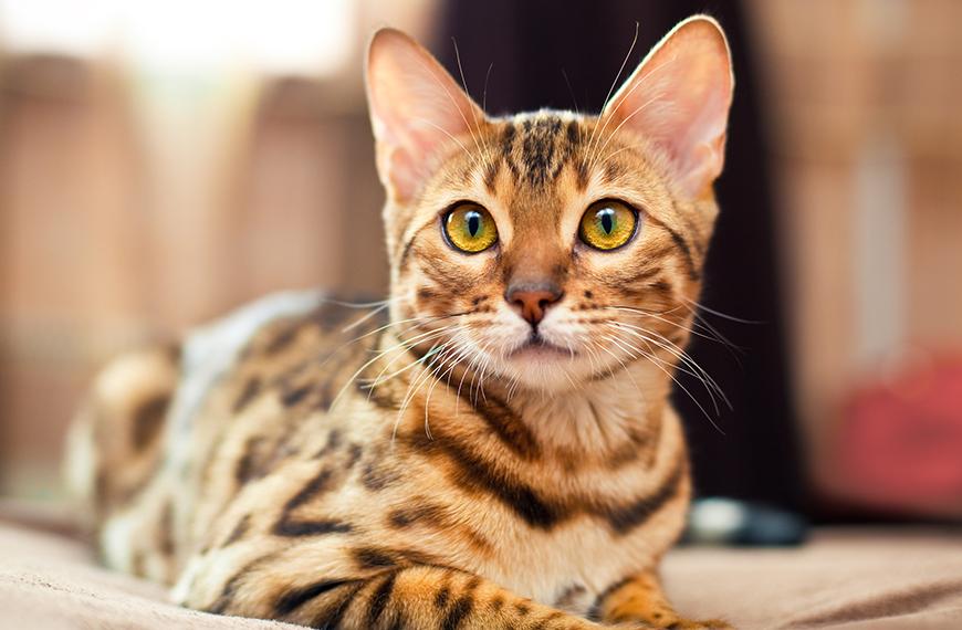 Gato bengal com dermatite