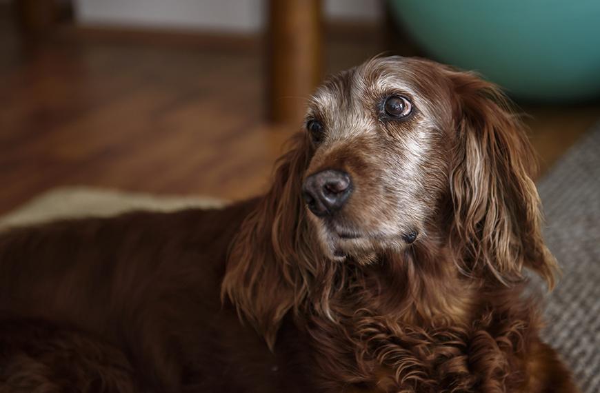 Infec��o intestinal em cachorro idoso