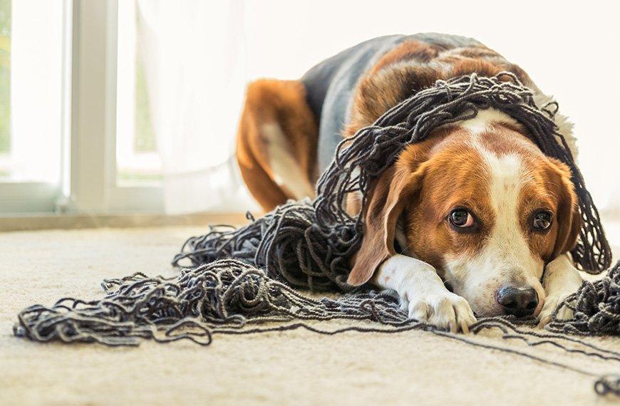 Cachorro estressado: mitos e verdades.
