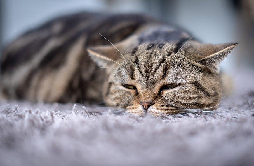 Gato vomitando espuma branca: o que pode ser?