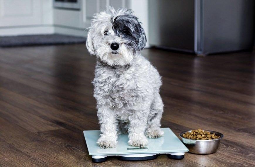 Como identificar e resolver a obesidade canina?