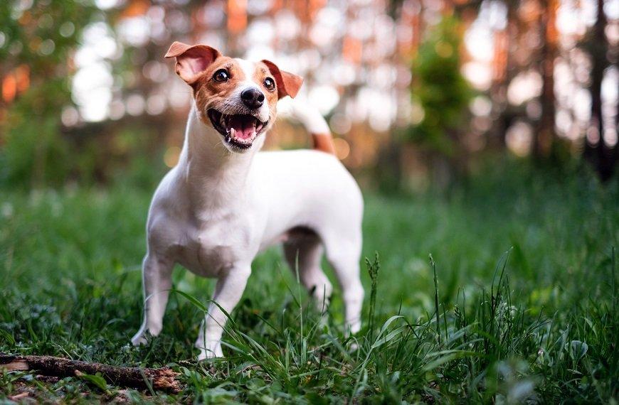 Informações sobre a raça Jack Russell Terrier